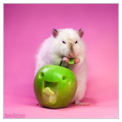 Lorich 13 - Fancy rat by *DianePhotos