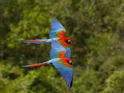 RED and GREEN MACAWS in Flight quickwitter:  We saw Macaws like this, and up to 300 in a flock, at the clay lick at Tambopata Reserve in Peru. Amazing to see macaws in the wild — and LOUD!  Red and Green Macaw (also Green Wing Macaw) Location: South America Status: Least Concern Facts: (Source: http://en.wikipedia.org/wiki/Red-and-green_Macaw)This is the second largest macaw, widespread in the forests and woodlands of northern and central South America. However, in recent years there has been a marked decline in its numbers due to habitat loss and illegal capture for the parrot trade.
