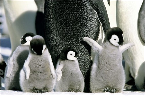 Baby Penguins. Submitted by Wumbosam