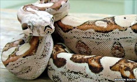 Snake gives 'virgin birth' to extraordinary babies A female boa constrictor snake has given birth to two litters of extraordinary offspring. Genetic evidence proves the mother snake has had multiple virgin births, producing 22 baby snakes that have no father. More than that, the genetic make-up of the baby snakes is unlike any previously recorded among vertebrates, the group which includes almost all animals with a backbone — they have only the sex chromosomes of the female and they have no genetic material from a male boa. Details are published in the Royal Society (UK) journal Biology Letters.