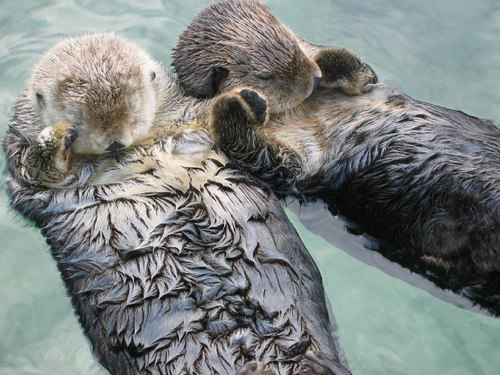 questionabledreams:  Sea otters hold hands when they sleep, so they don't drift away from each other.