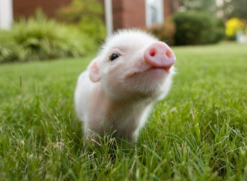 spiritguide:  Belle (by Brittney) Oh my god a FIVE DAY OLD PIGLET.  Creo que me voy a morir.