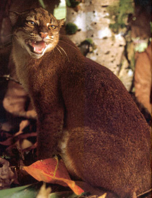 the very endangered borneo bay cat