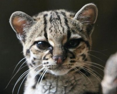 black footed wild cat