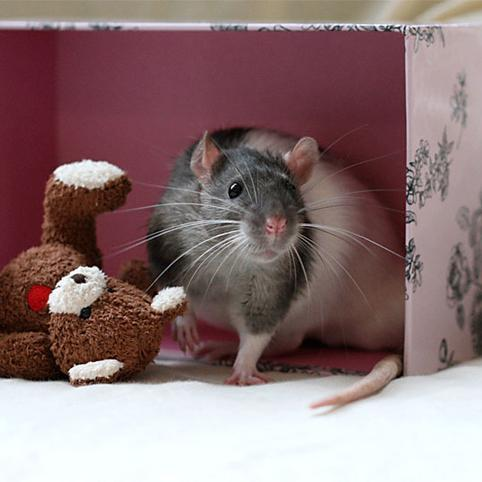 Cute Rat Picturesvia: buzzfeed.comIcyCute