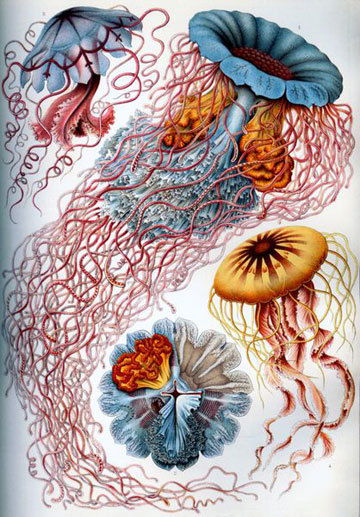 Jellyfish, Ernst Haeckel, Kunstformen Der Natur, 1874. It was a very long time after photography was invented that it became precise enough for scientific observation, especially at scale. The magnification, the lighting, the length of exposure all needed to play a lengthy and complex game of catch-up before they could be of much use in describing the structures of diatoms, for example. Ernst Haeckel, who felt a calling toward both art and science, spent hours at his microscopes, translating tiny and sometimes amorphous details into pen and ink, and sometimes color. These jellyfish were not that tiny, but the sheer delight and exuberance with which they are depicted by Haeckel's pen, without sacrificing accuracy, meld the best of both worlds. (posted by Peggy Nelson/@otolythe)