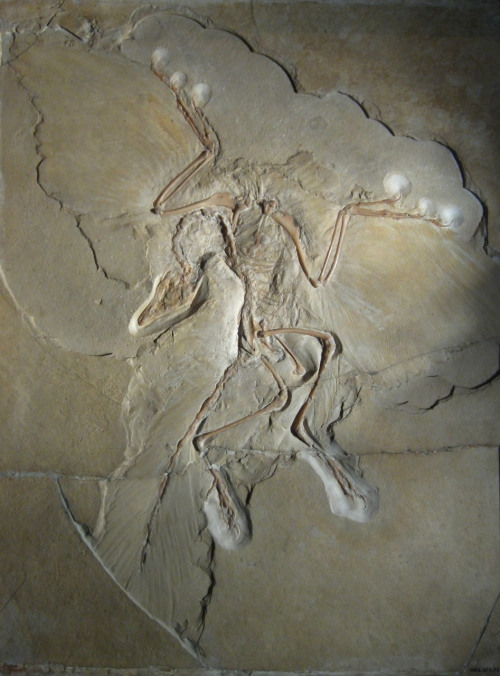 "Maybe we can think of fossilization as an instance of ""found"" scientific imagery?Certainly, the fossils of Archaeopteryx, a late-Jurassic protobird. Fossil evidence for Archaeopteryx was first discovered in the form of a single fossil feather in Germany in 1860; the image above, the so-called Berlin Archaeopteryx unearthed in about 1875, is the most complete. —image via Debbie Chacra/@debcha"