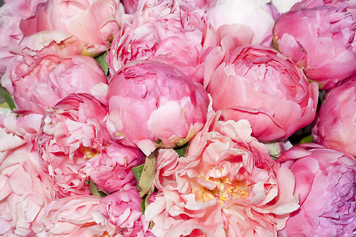 peonies i will love you forever