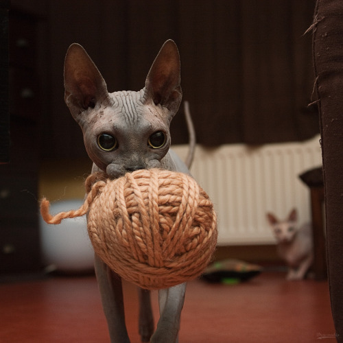 miezekatzen:  I need a pullover 778:  Yarn 01 (via dracorubio)    A hairless cat and a ball of yarn? I need this in my life now!