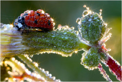 mindymaygan:  youwillbeassimilated:  Macro shot of a ladybug covered in dew by Jens Kolk, via ubersuper  !!!!!!!!  I like when the world looks like candy.