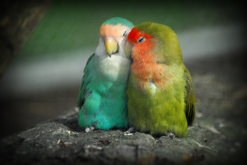 Lovebirds.