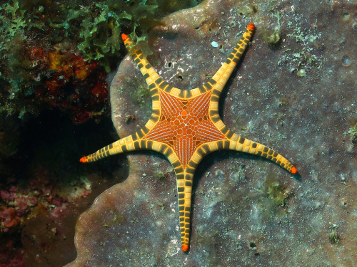 NECKLACE SEA STARFromia monilis©Divaholic Small orange star with prominent cream or yellow plates. The plates  are larger along the external margins, small and flattened on the upper  surface. Orange central disc and tip of the arms, the central disc have  large pores. 10 cm diameter. Encountered in lagoon, back reef and reef front. Different Fromia species are identified by the plates on the dirsal side.Fromia monilis has larger tubercles at the margins, smaller in the center of the arms; Fromia nodosa is similar but with a central row of large tubercles on each arm; Fromia indica has plates covering all the surface, Fromia milleporella has no plates. Distribution: 								Western Pacific Sheet author:  MASSIMO BOYER Fact Source: http://www.seadb.net/en_Necklace-sea-star-Fromia-monilis_197.htm Other photos you may enjoy: Panamic Cushion Star Rainbow Mantis Shrimp Sea Anemone and Clownfish relationship —- jerzee55sst:  starfish - by Divaholic