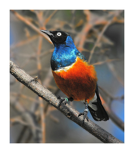 SUPERB STARLING ©al mawash  hani Cooperative Breeders:The Superb Starling has one of the most complicated and fascinating lifestyles of any bird species. It is a cooperative breeder, which means more than two individuals care for the young at a nest. Cooperative breeding occurs in less than 4% of all bird species. While the typical cooperative breeder lives in small family groups, the Superb Starling lives in large social groups with as many as 30 or more birds — often extended families of parents, step-parents, siblings, aunts, uncles, nieces, and nephews. Within these groups, usually two to four pairs build nests inside thorn-encased acacia trees. Both males and females may help raise the young of the breeding pairs. Although most of these helpers are aiding their own parents, they often help at multiple nests simultaneously. Even other breeders have been known to help at nests that are not their own. In Kenya, cooperative breeding occurs in numerous species of birds and even some mammals, such as hyenas and wild dogs. We are not really sure why cooperative breeding is so common there, but the answer may have something to do with the East African environment. For many months each year the savanna is dry and barren, and the timing and intensity of rain are quite variable from year to year. Without helpers to feed nestlings in times of food shortage and to protect them from the ever-present nest predators such as snakes, hawks, and small mammals, most pairs might rarely fledge young. And because groups consist of close relatives, individuals may be more willing to forgo breeding on their own to help raise the offspring of their kin instead. —- Fact Source:http://www.birds.cornell.edu/Publications/Birdscope/Spring2005/superb_starling.html