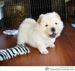 puppypictures Cute cream Chow Chow puppy
