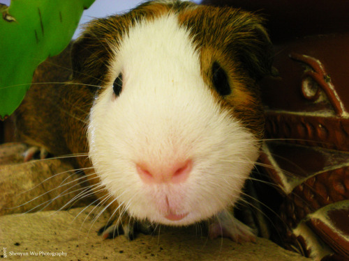 Kabob, one of my two guinea pigs. Poughkeepsie, NY.28 May 2008.