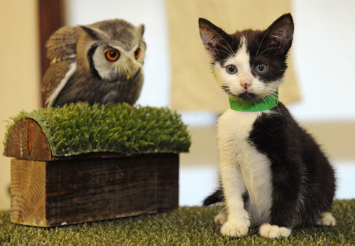 rosasparks:neroon:fridaphile:mabelmoments:  A real-life owl and the pussycat. A kitten and owl have become inseparable. The unlikely friendship began after a litter of stray kittens were handed in to the Hawk Conservancy Trust in Hampshire, after they were found abandoned on a nearby road, and one of the litter has become firm friends with Nigel, a white-faced scops owl. Picture: MATHEW GROWCOOT / CATERS NEWS
