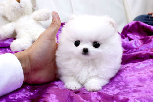 summerkeeley:  ohhiaj:  What kind of dog is this? I need it in my life.  AWWWWWWWWWWWWWW.