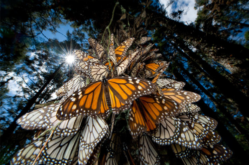 Millions of monarch butterflies travel to ancestral winter roosts in Mexico's shrinking mountain fir forests. Surfing winds from southern Canada and the northern U.S., they travel thousands of miles, taking directional cues from the sun. Photograph by Joel Sartore. (via skysignal)