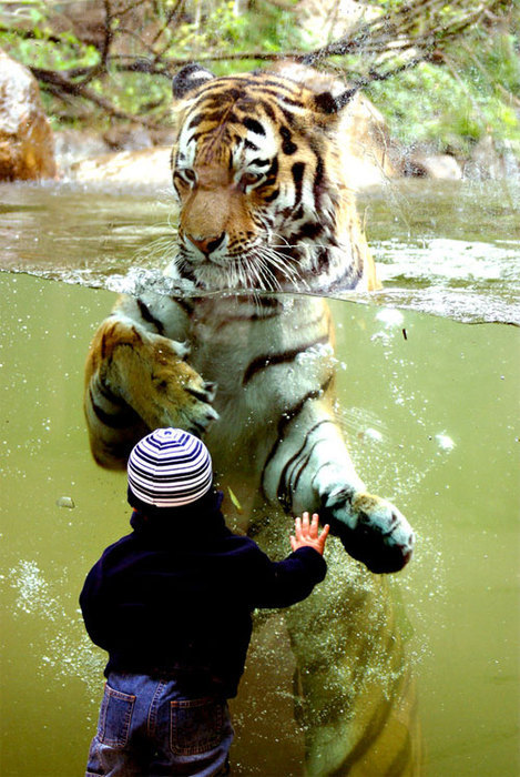 girlgoesgrrr:  'Sup …  How thick is that glass? Let's hope that kid doesn't pull a Harry Potter. Also, this reminds me: yesterday I saw a trailer for African Cats, a new nature documentary from Disney, and it was 2 minutes of adorable baby lions and tigers and cheetahs snuggling and playing. Is it wrong that I'd rather see that than Babies?