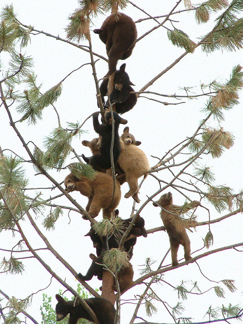 bear tree party