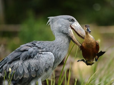 AFRICAN SHOEBILL moving a duck out of the way…duck was not harmed Location: It lives in tropical east Africa, in large swamps  from Sudan to Zambia  Status: Vulnerable Facts:The Shoebill, Balaeniceps rex  also known as Whalehead is a very large bird related to the storks It  derives its name from its massive shoe-shaped bill The Shoebill  is a very large bird, averaging 1.2 m (4 ft) tall, 5.6 kg (12.3 lbs)  and 2.33 m (7.7 ft) across the wings The Shoebill was added rather recently  to the ornithological lists; the species was only discovered in the 19th  century when some skins were brought to Europe . It was not until years  later that live specimens reached the scientific community.  The bird  was known to both ancient Egyptians and Arabs however. There exist  Egyptian images depicting the Shoebill while the Arabs referred to the  bird as abu markub, which means one with a shoe. Clearly, this refers to  the striking bill.  ©Mark Kay Photography —- Fact source(s): http://www.weird-websites.info/Weird-Animals/weird-facts-about-animals-Shoebill-online-facts-and-pictures.htm http://www.birdlife.org/datazone/speciesfactsheet.php?id=3808&m=1
