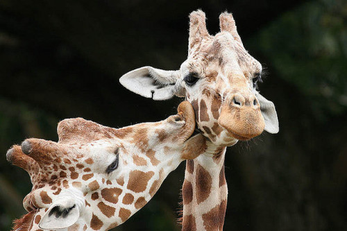 kari-shma:  Kissing Giraffes - True Love (by Buck Forester)