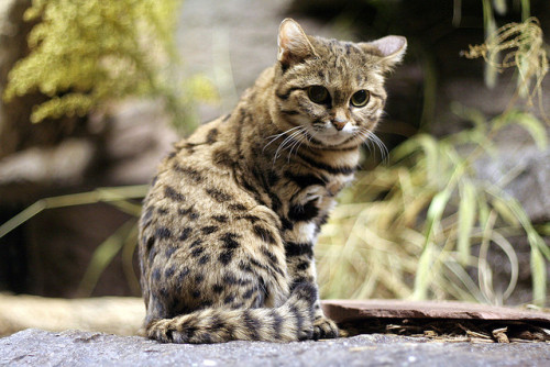 beautifulcats:  A Black Footed Cat (Felis nigripes)