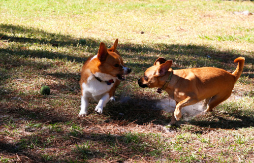 corgiaddict:  When good corgum go bad.  Ferocious corgi is ferocious.
