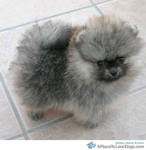 mysilentscreaming Very fluffy Pomeranian puppy