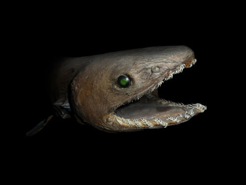 With its elongated, eel-like body and strange appearance, the frilled shark has long been likened to the mythical sea serpent. —Wikipedia
