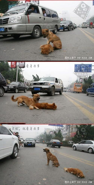 A dog in the middle of a street, tries to awaken his dead friend, who had been hit by a car. The dog would bark and growl at anyone trying to get close, and he would not leave his friend. Some animals are more compassionate and loyal than humans. FOREVER REBLOG.