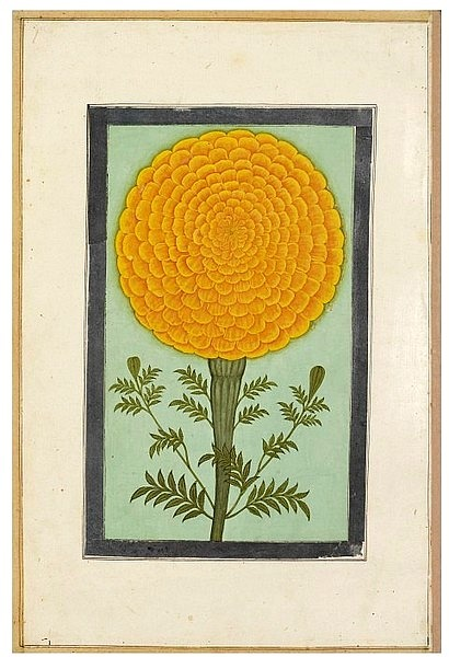 Unknown (India) A marigold 17th century