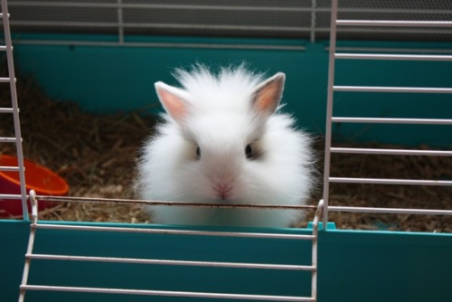 Puffy little bunny. From Cute Overload.