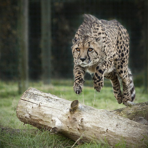 llbwwb:  Pounce! by Sally Bowe