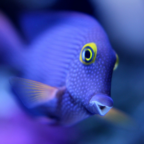 PURPLE TANG (Zebrasoma xanthurum) The fish grows to a maximum length of 25 centimeters (9.8 inches) in the wild but rarely surpasses 20 centimetres (7.9 inches) in captivity.  Zebrasoma xanthurum inhabits the Red Sea, the west coast of India, the east coast of Africa, and the Persian Gulf, where it may live at water depths of 1 to 20 metres (3 to 65 feet) or more.  Zebrasoma xanthurum is a popular fish in the aquarium trade.  It is a herbivorous fish eating primarily filamentous algae. Zebrasoma xanthurum is omnivorous in its juvenile stage, but becomes increasingly herbivorous as it matures. despicablealexis:  Purple Tang *Explore* (by Justin B)