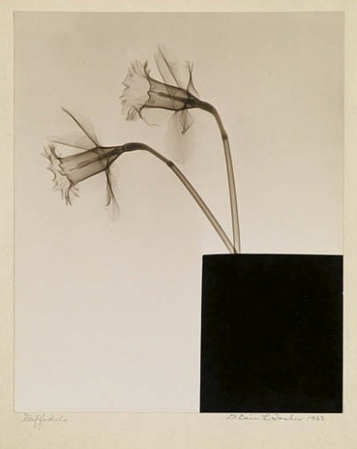Dain L. Tasker Daffodils (in Box) 1933