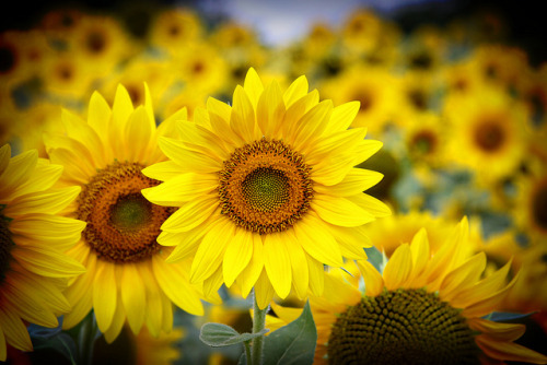 purplelovesyellow:  Sunflowers Make Me Happy… (by islandphotobug~Cori)