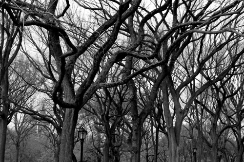 Trees in the Mall in Central Park