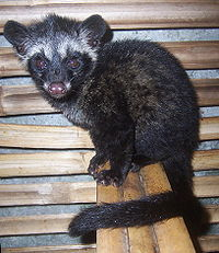 "From Indonesia comes the most expensive coffee in the world: Kopi Luwak, which loosely translates to weasel coffee. Why? Because it's already been eaten by this guy.  In the Starbucks Coffee Master training it said the coffee cherries ""pass through the digestive tract of a civet."" That's a nice way to put it.  After that first bit, the beans are collected from the forest floor, cleaned and roasted.  Kopi Luwak Sounds horrifying and yet I seriously want to taste it."