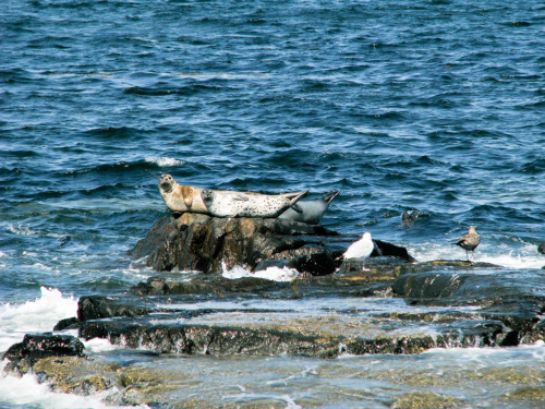 Seals in Bar Harbor Maine. 2009. Digital. Canon S5IS.