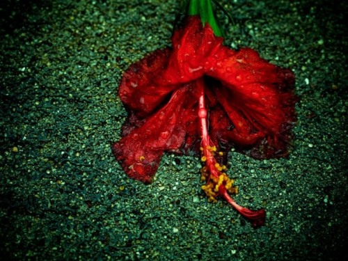 Red Flower, Friendswood - Texas (Nationalgeographic)