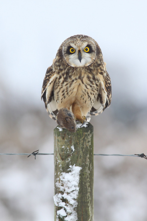 Short-eared owl [by Jamie Hall]