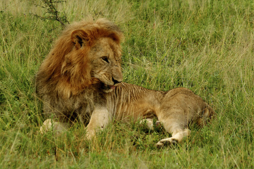 njwight:  This 3-legged lion was 6 years old when I took this in Grumetti in 2007. He lost part of his back leg in a trap outside the park. If you look closely you can see the stump. The rest of the pride took care of him, but you can see how thin and beat-up he looks.