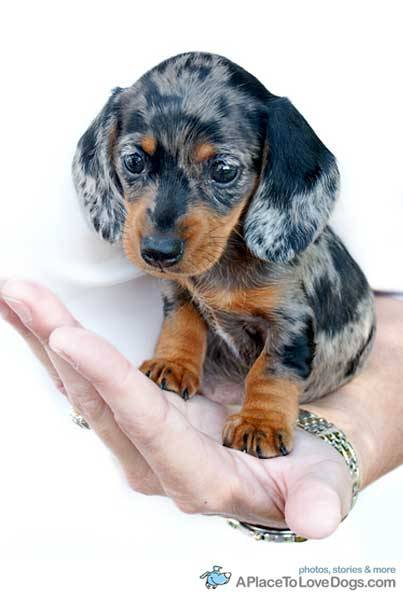 aplacetolovedogs:  TriggerArtist Miniature Dachshund Emma is really that tiny  I would probably try to fit this dog in my mouth. At least once.
