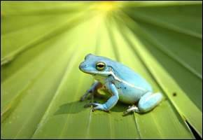 "An interesting color mutation was found in a green treefrog in Florida: it's blue. From the News-Press: ""The  extremely rare blue green treefrog was found the weekend before  Thanksgiving and has been an object of fascination for sanctuary staff  and photographers."" … ""In scientific terms, the blue frog is axanthic, which means it lacks yellow pigment.""Green treefrogs produce a layer of yellow pigment and a layer of blue pigment, and the two combine to make green. ""Something  happened genetically to this frog: The genes that produce yellow are  absent, and the genes that produce blue — that would be the blue genes —  are present, so the frog is normal in every way except color."" …"