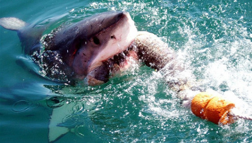 Why is the great white shark's bite so powerful and deadly? We have the answer.