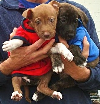 These little munchkins are Wilma and Betty, two-month-old pit bull sisters at the Benicia-Vallejo Humane Society. They have both been spayed and their shots are current—like all shelter animals!—meaning they are ready for a permanent home. Of course Misses Wilma and Betty may be adopted singly or together, but if you want to take your own pictures of them in their little fleece shirts, you'd better act quick; you'll be looking for much larger fleeces very soon.