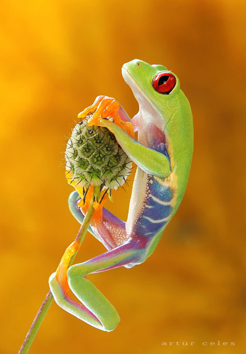 rod42:  Red-eyed tree frog