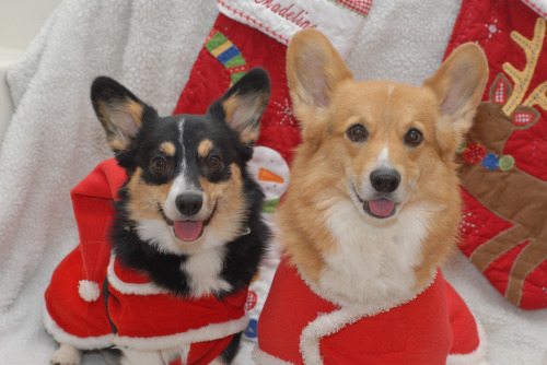the happiest pair of christmas corgis i've seen so far this holiday season.  i'm sorry but scourge corgis and awkward santa corgis are waaaaay funnier. but goshcorgit! these two are just ADORABLES!