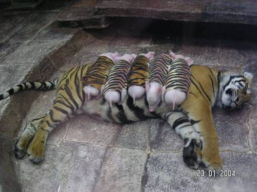 figurativelyspoken:  unexotic:  A tiger mother lost her cubs from premature labour, shortly after she became depressed and her health declined. She was later diagnosed with depression. So they wrapped piglets up in tiger cloth, and gave them to the tiger. The tiger now loves these pigs and treats them like her babies. Love this  What! This is adorable  Every time I see this, it warms my heart.